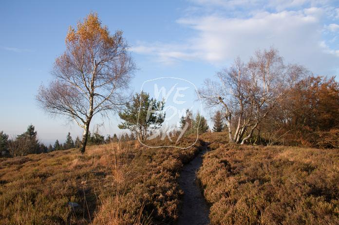 Fußweg durch Birken