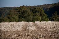 Maisstoppeln