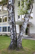 Birkenpaar