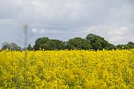 Rapsfeld vor Gewitter