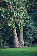 Zwei Friedhofsbäume