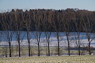 Pappeln im Winter