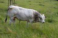 Piemonteser Rind
