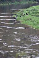 Kühe an der Weser