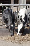 Stallfütterung von Milchkühen
