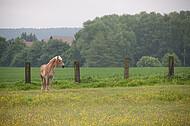 Pferde auf Blumenwiese