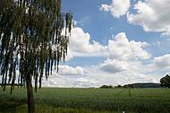 Birke vor Wolkenhimmel