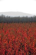Rote Pflanzung im Gegenlicht