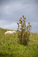 Schafe auf Weide