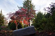 Rotbuche auf Friedhof