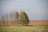 Krähe fliegt los