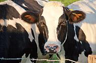 Milchkühe auf Weide