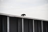 Krähe auf Betonwand