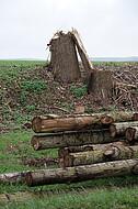 Baumstämme - und Stumpf