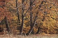 Buchenstämme im Herbst