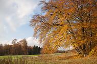 Herbstbuche