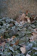 Raureifpflanzen