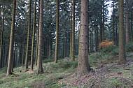 Herbstnadelwald