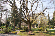 Große Friedhofsbuche