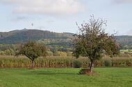 Apfelbaum vor Maisfeld