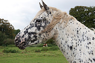 Gescheckte Pferde