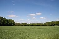 Großes Kornfeld