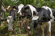 Kühe an Tränke