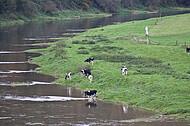 Milchkühe an Weserufer