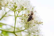 Biene auf Kletterhortensie