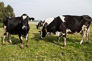 Schwarzbunte Kühe
