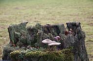 Pilze auf Holzpfosten